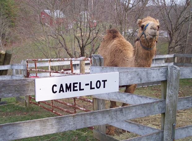 Camel-lot. It's a joke. Get it? Lancelot thinks it's funny.