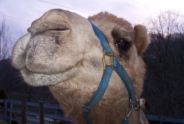 Lancelot's still laughing about Camel-lot.